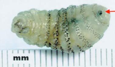botfly removal larvae