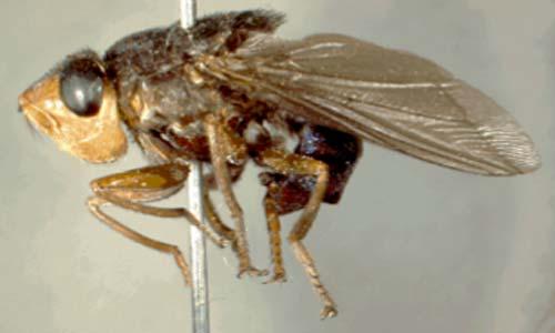 human botfly removal